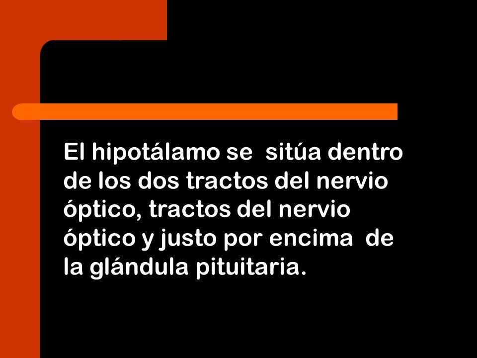 El hipotálamo se sitúa dentro de los dos tractos del nervio óptico, tractos del nervio óptico y justo por encima de la glándula pituitaria.