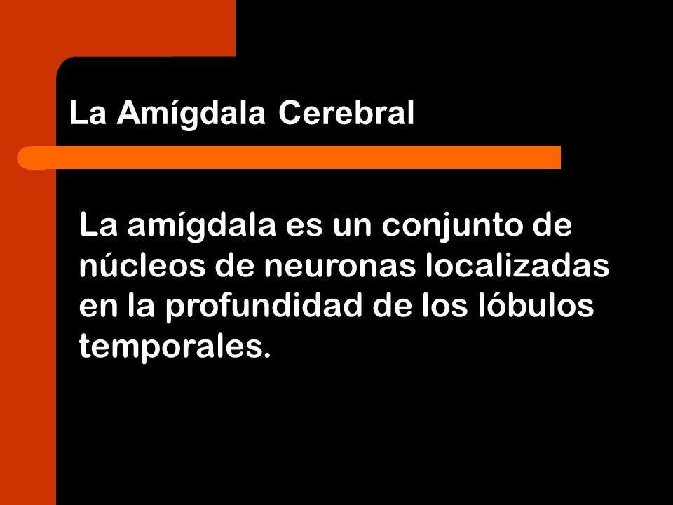 La Amígdala CerebralLa amígdala es un conjunto de núcleos de neuronas localizadas en la profundidad de los lóbulos temporales.