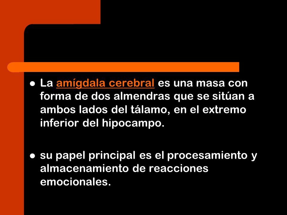 La amígdala cerebral es una masa con forma de dos almendras que se sitúan a ambos lados del tálamo, en el extremo inferior del hipocampo.