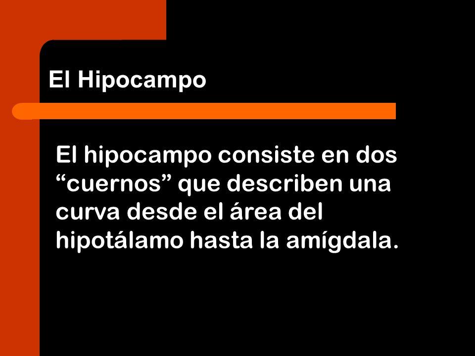 El Hipocampo El hipocampo consiste en dos cuernos que describen una curva desde el área del hipotálamo hasta la amígdala.