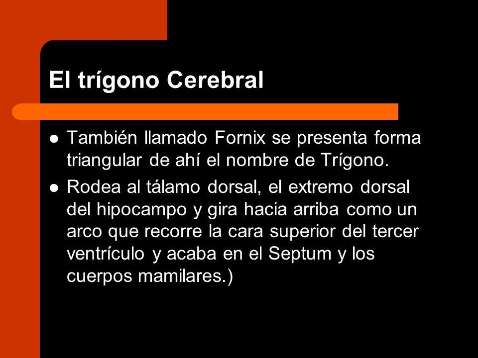 El trígono Cerebral También llamado Fornix se presenta forma triangular de ahí el nombre de Trígono.