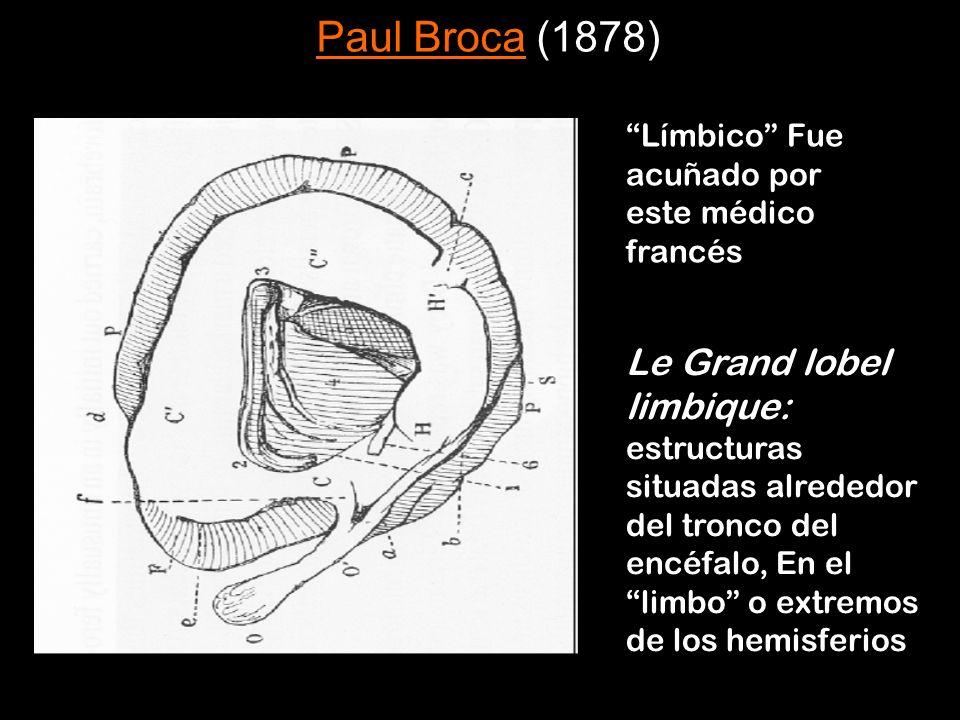 Paul Broca (1878) Límbico Fue acuñado por este médico francés.