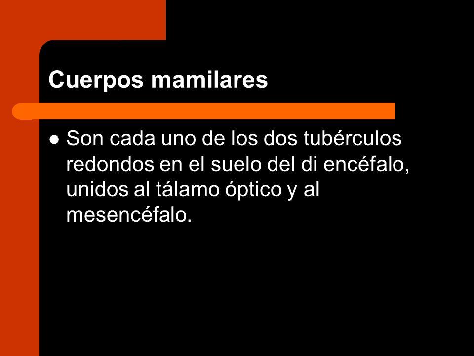 Cuerpos mamilaresSon cada uno de los dos tubérculos redondos en el suelo del di encéfalo, unidos al tálamo óptico y al mesencéfalo.