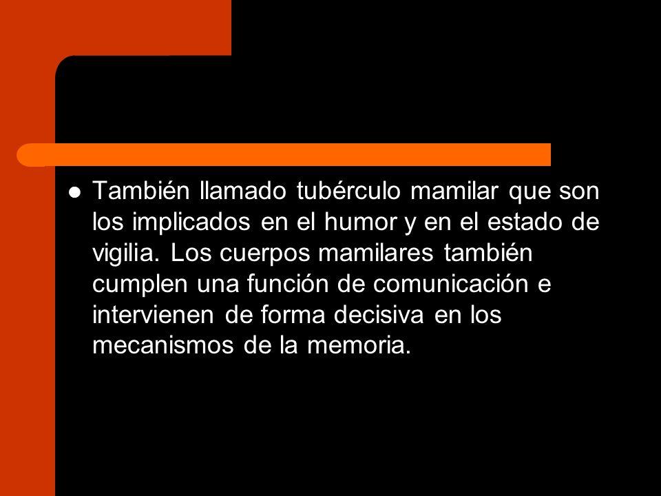 También llamado tubérculo mamilar que son los implicados en el humor y en el estado de vigilia.