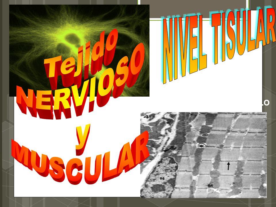 Tejido NERVIOSO y MUSCULAR NIVEL TISULAR Dr. SOLERME MORALES CUDELLO