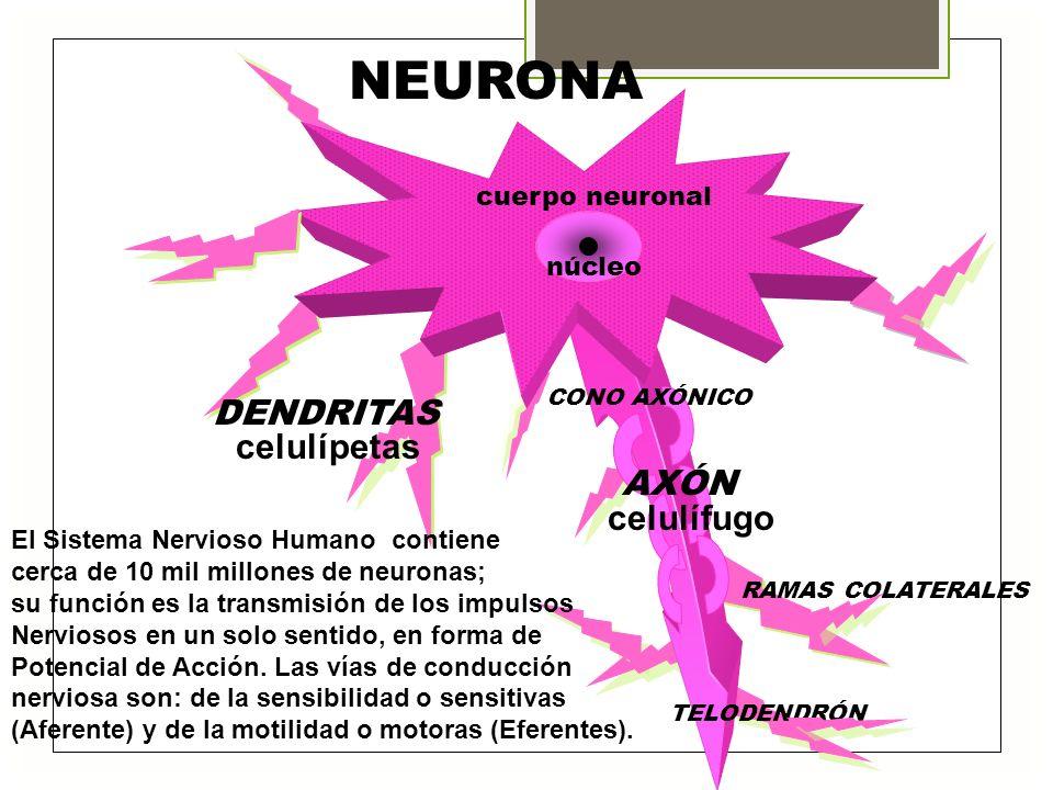 NEURONA DENDRITAS celulípetas celulífugo cuerpo neuronal núcleo AXÓN