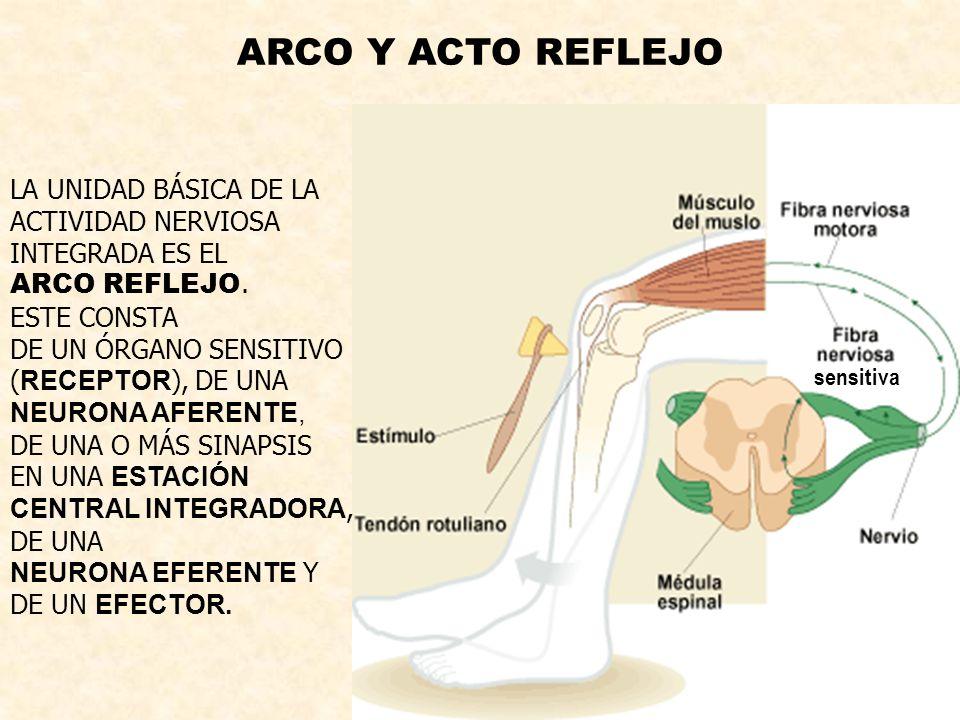 ARCO Y ACTO REFLEJO LA UNIDAD BÁSICA DE LA ACTIVIDAD NERVIOSA