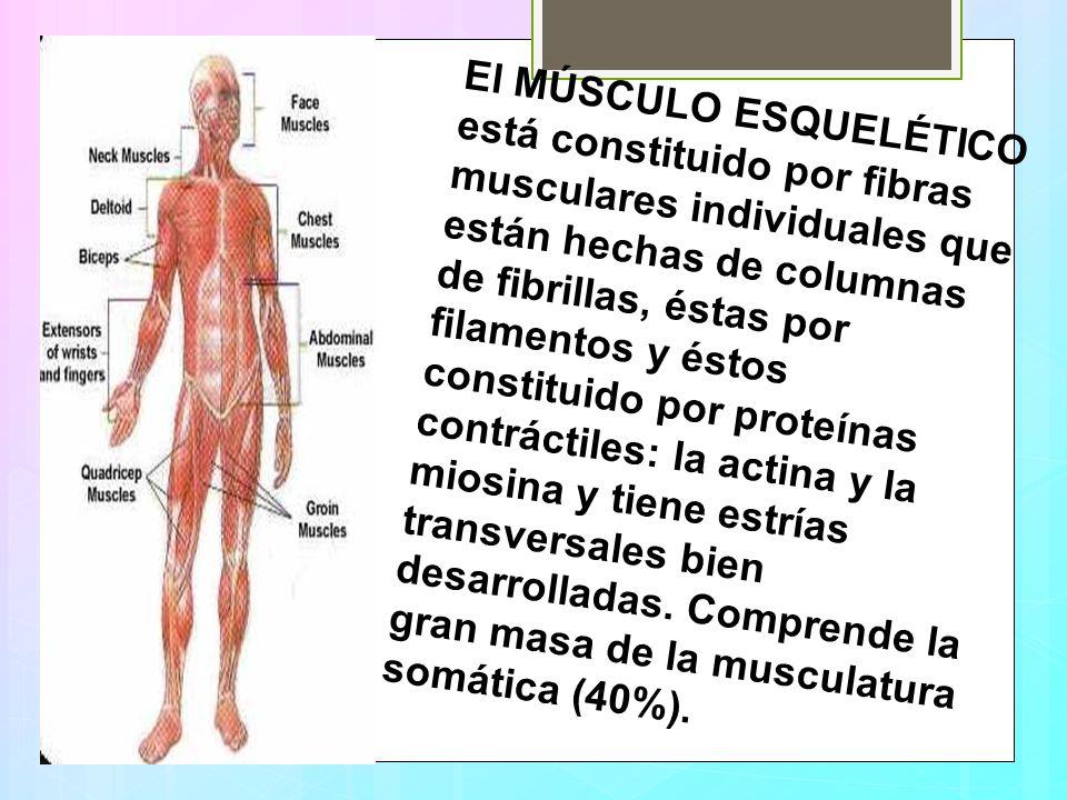 El MÚSCULO ESQUELÉTICO está constituido por fibras musculares individuales que están hechas de columnas de fibrillas, éstas por filamentos y éstos constituido por proteínas contráctiles: la actina y la miosina y tiene estrías transversales bien desarrolladas.