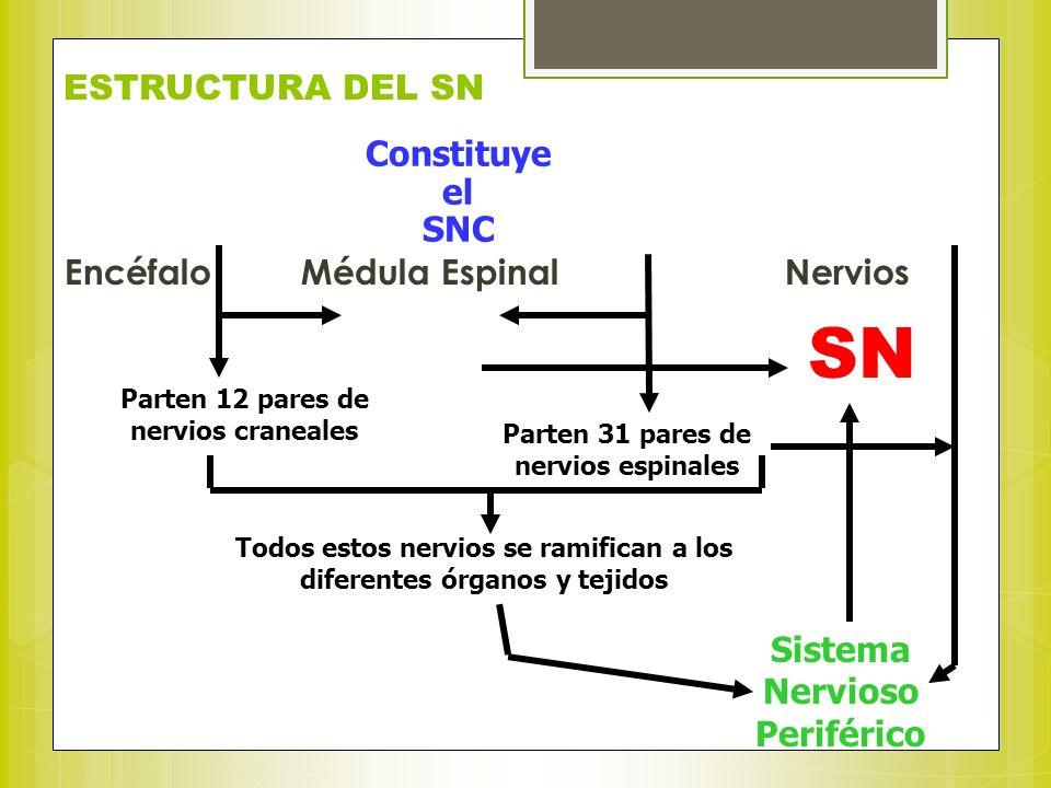 SN ESTRUCTURA DEL SN Constituye el SNC Encéfalo Médula Espinal Nervios