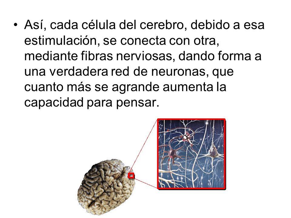 Así, cada célula del cerebro, debido a esa estimulación, se conecta con otra, mediante fibras nerviosas, dando forma a una verdadera red de neuronas, que cuanto más se agrande aumenta la capacidad para pensar.