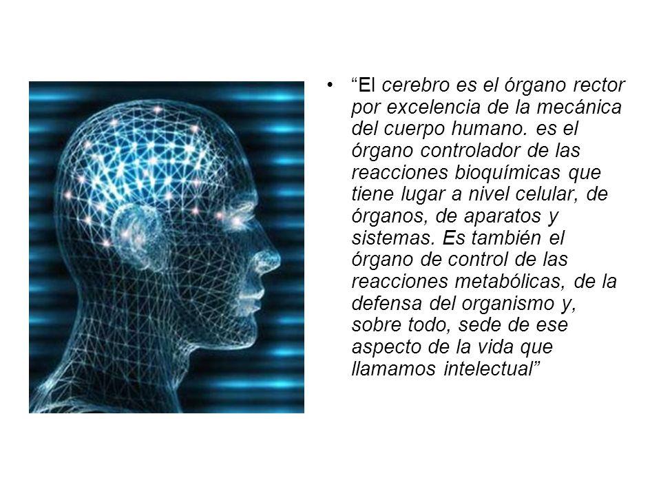 El cerebro es el órgano rector por excelencia de la mecánica del cuerpo humano.