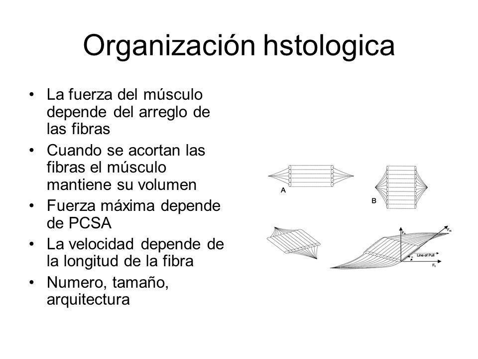 Organización hstologica