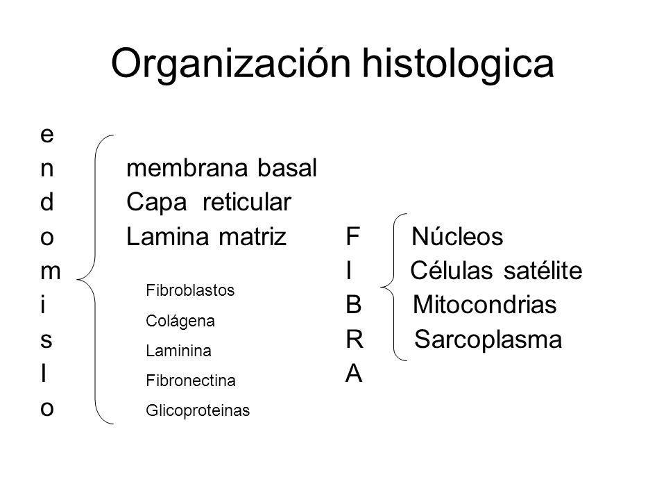 Organización histologica