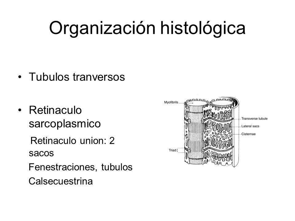 Organización histológica