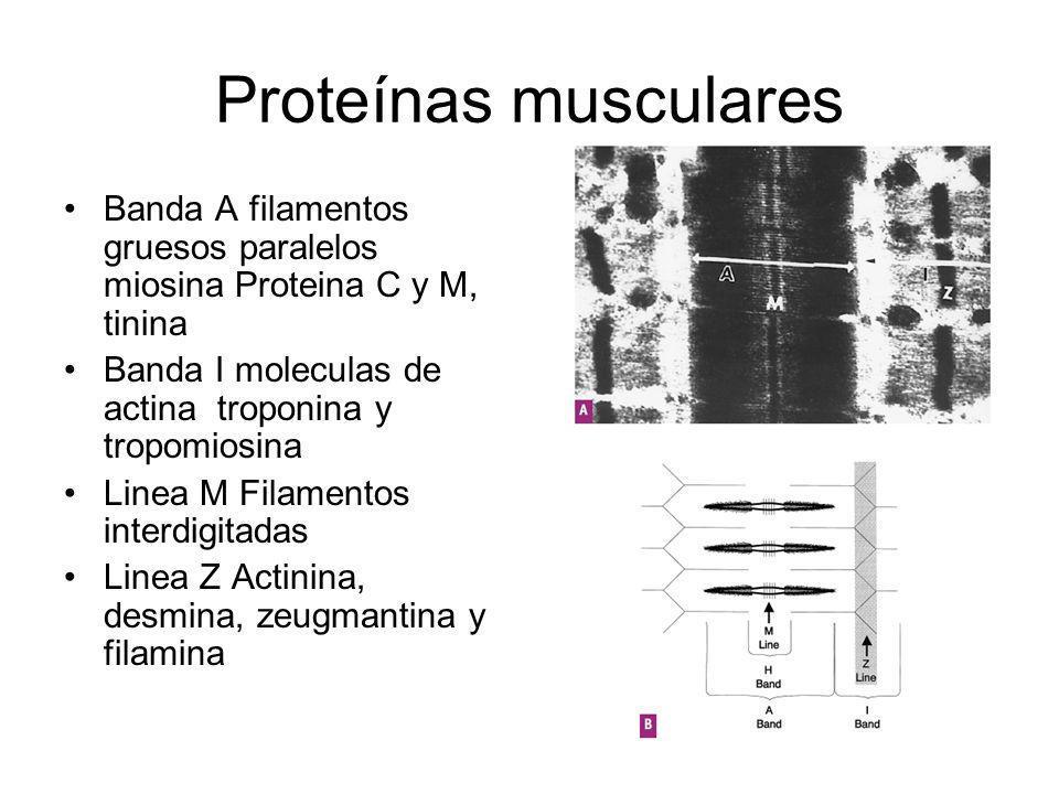 Proteínas musculares Banda A filamentos gruesos paralelos miosina Proteina C y M, tinina. Banda I moleculas de actina troponina y tropomiosina.