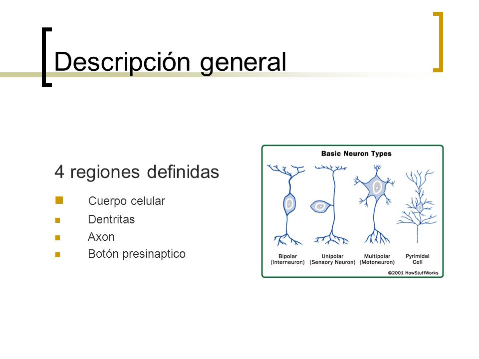 Descripción general 4 regiones definidas Cuerpo celular Dentritas Axon