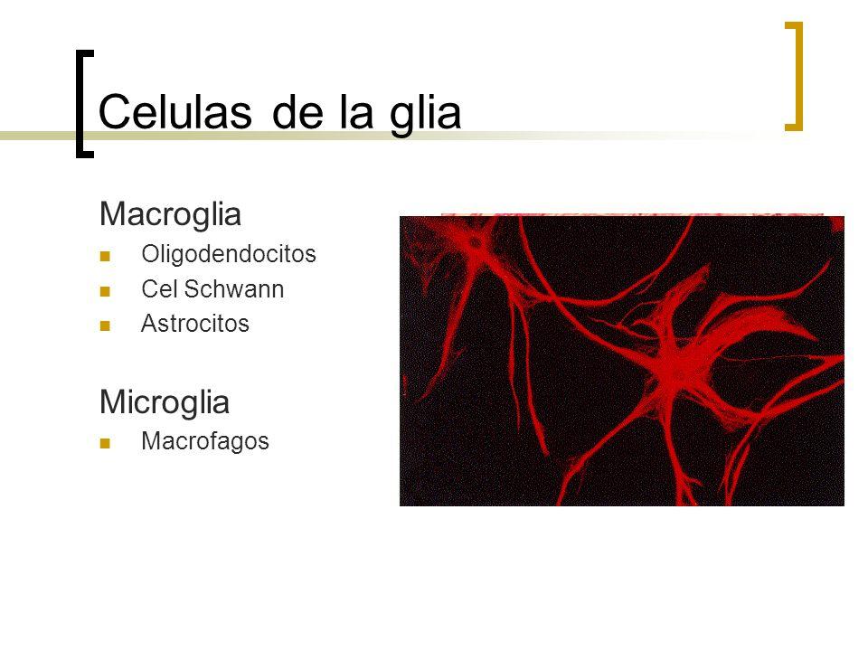 Celulas de la glia Macroglia Microglia Oligodendocitos Cel Schwann
