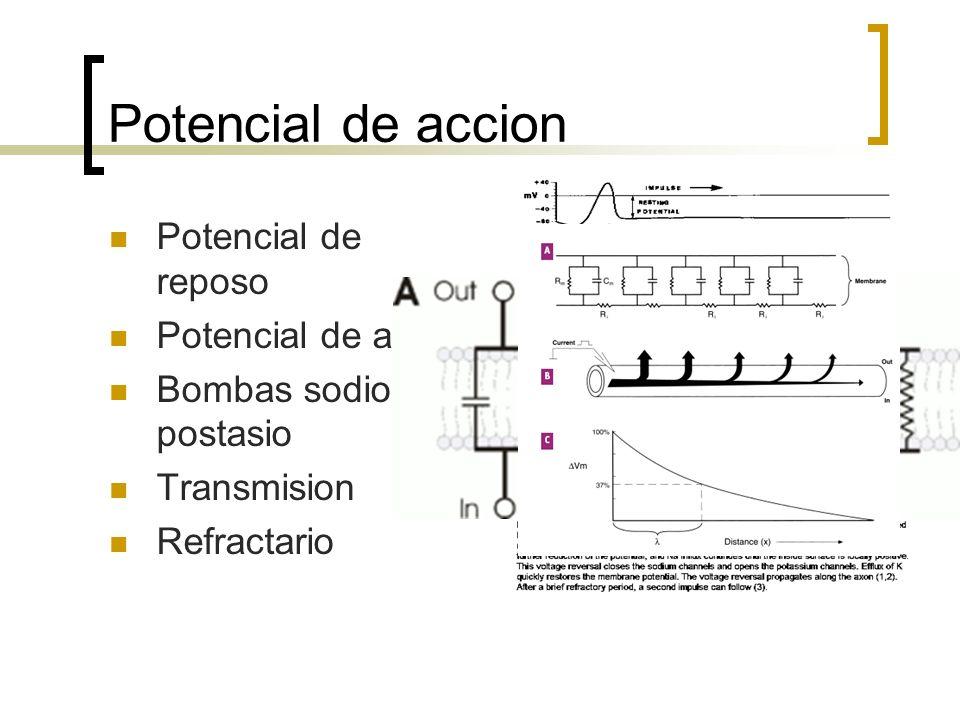 Potencial de accion Potencial de reposo Potencial de accion