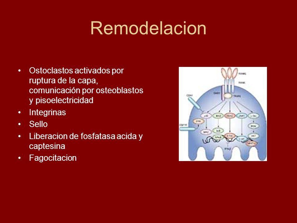 Remodelacion Ostoclastos activados por ruptura de la capa, comunicación por osteoblastos y pisoelectricidad.