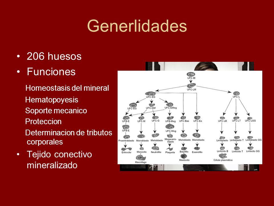 Generlidades 206 huesos Funciones Homeostasis del mineral