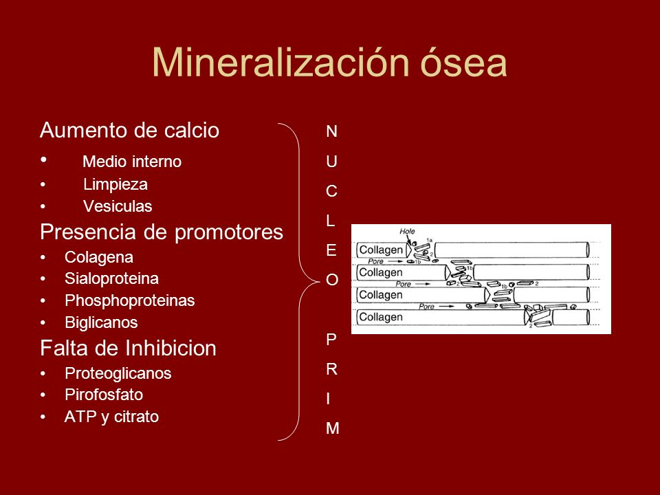 Mineralización ósea Aumento de calcio Medio interno