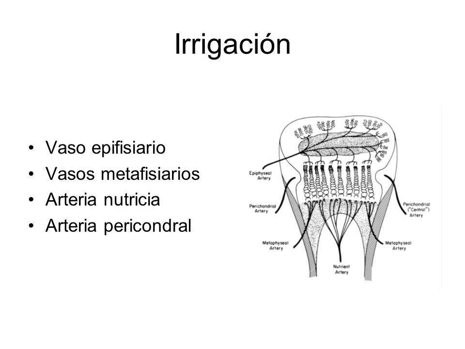 Irrigación Vaso epifisiario Vasos metafisiarios Arteria nutricia