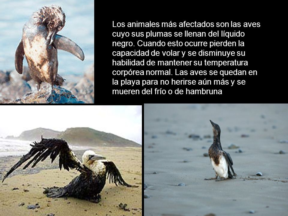 Los animales más afectados son las aves cuyo sus plumas se llenan del líquido negro.