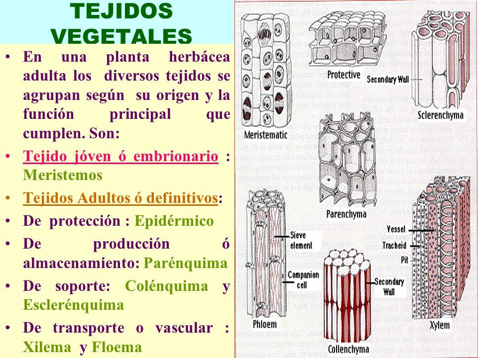 TEJIDOS VEGETALES En una planta herbácea adulta los diversos tejidos se agrupan según su origen y la función principal que cumplen. Son: