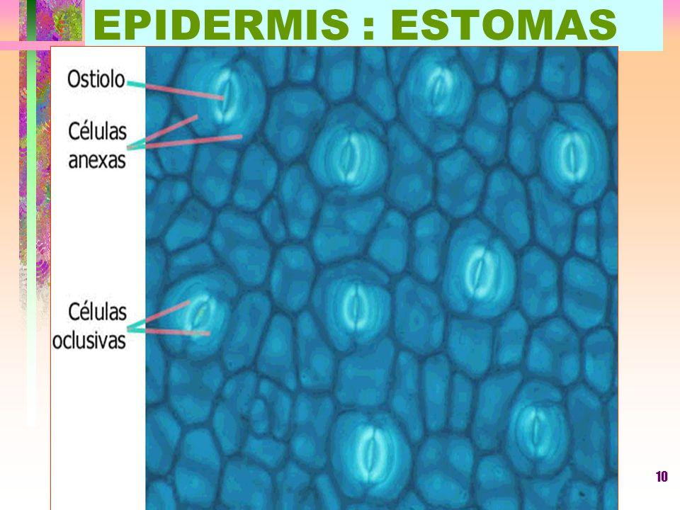 EPIDERMIS : ESTOMAS LUIS ROSSI