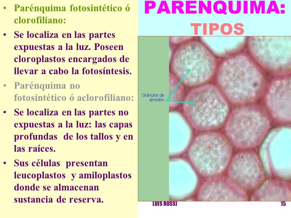 PARENQUIMA: TIPOS Parénquima fotosintético ó clorofiliano: