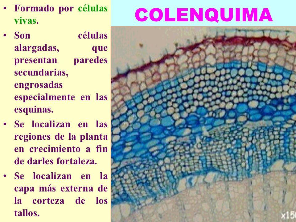 COLENQUIMA Formado por células vivas.