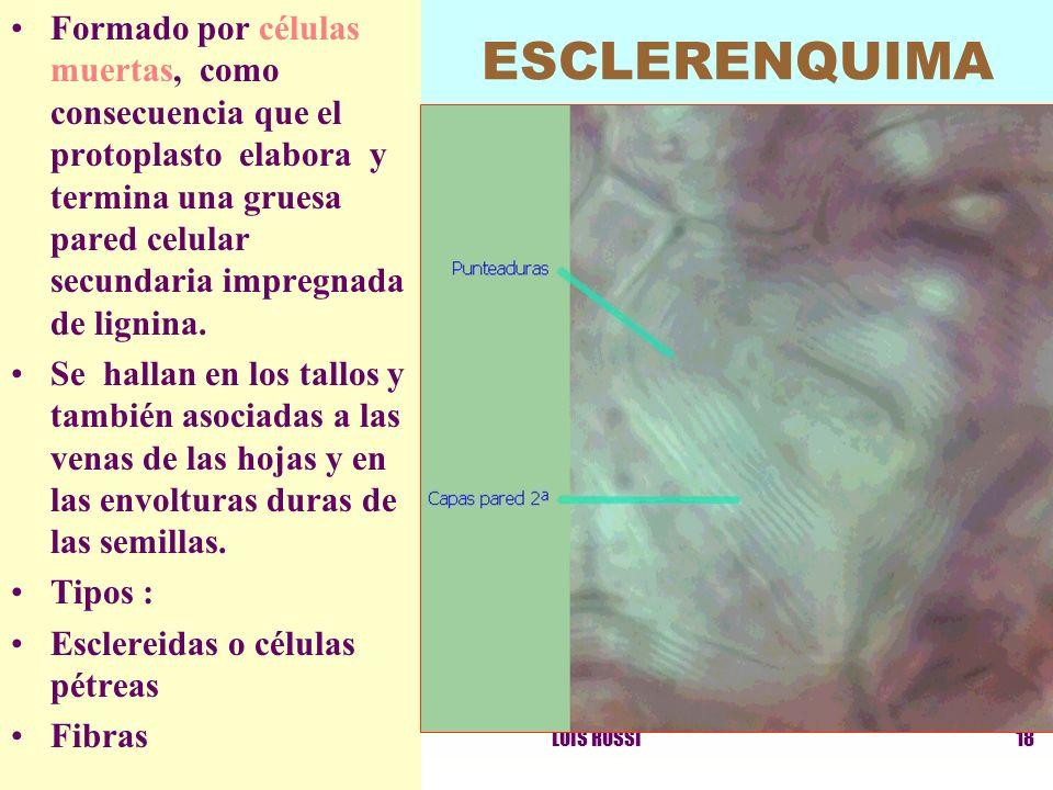 Formado por células muertas, como consecuencia que el protoplasto elabora y termina una gruesa pared celular secundaria impregnada de lignina.