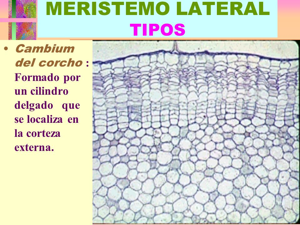 MERISTEMO LATERAL TIPOS