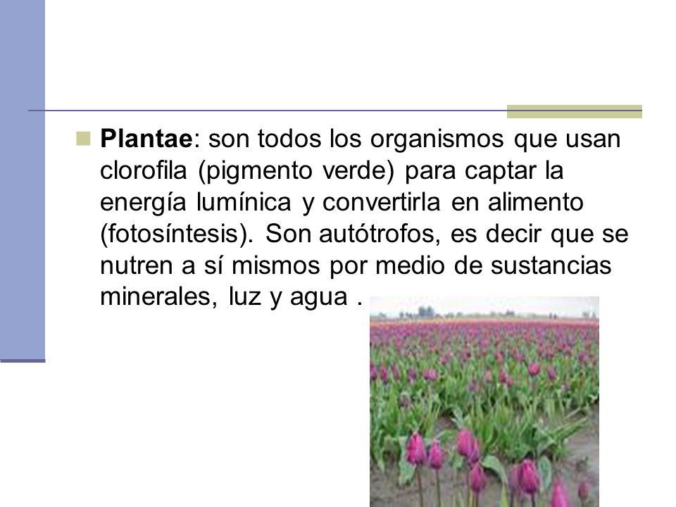 Plantae: son todos los organismos que usan clorofila (pigmento verde) para captar la energía lumínica y convertirla en alimento (fotosíntesis).