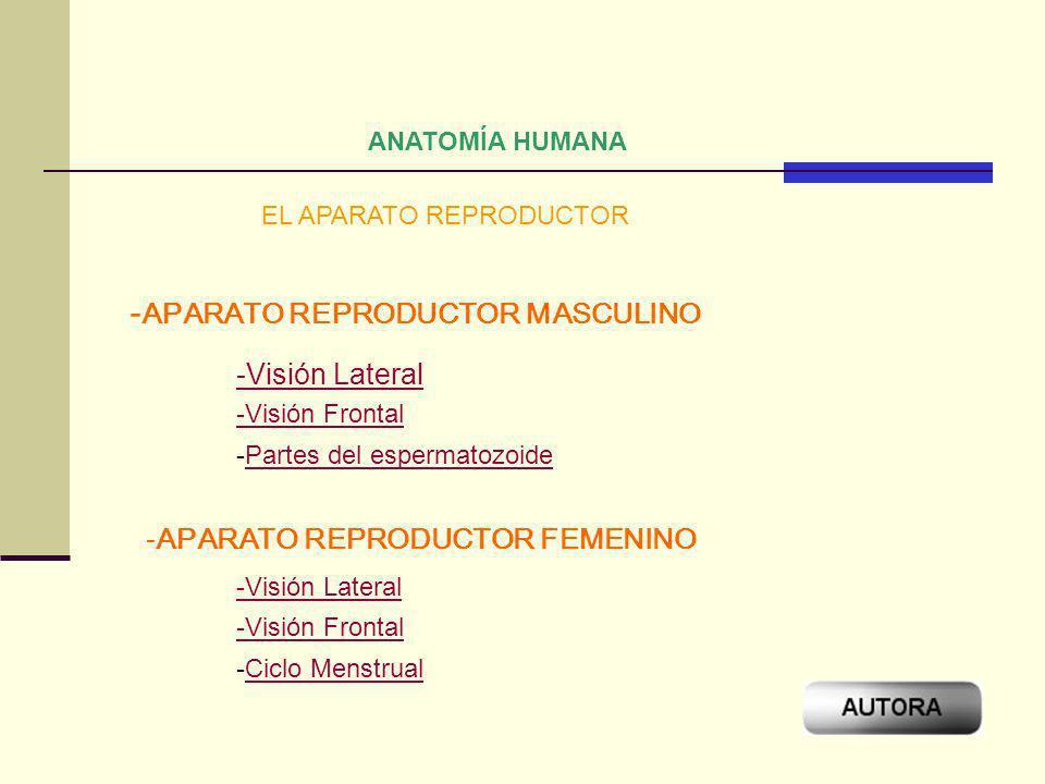 -APARATO REPRODUCTOR MASCULINO