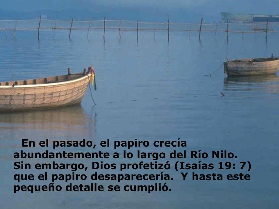 En el pasado, el papiro crecía abundantemente a lo largo del Río Nilo