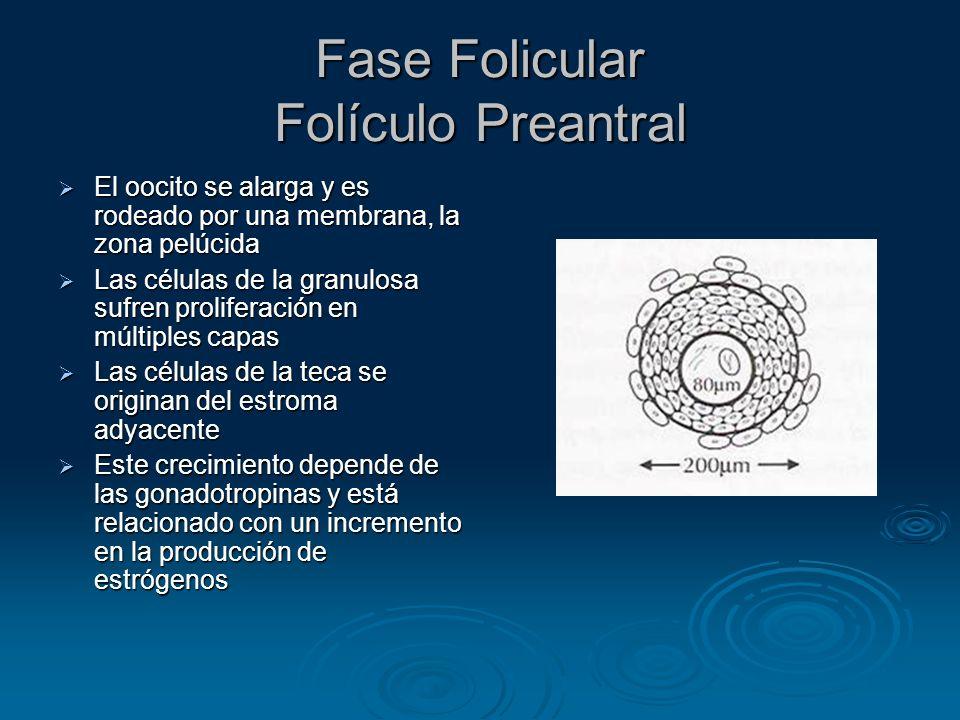 Fase Folicular Folículo Preantral