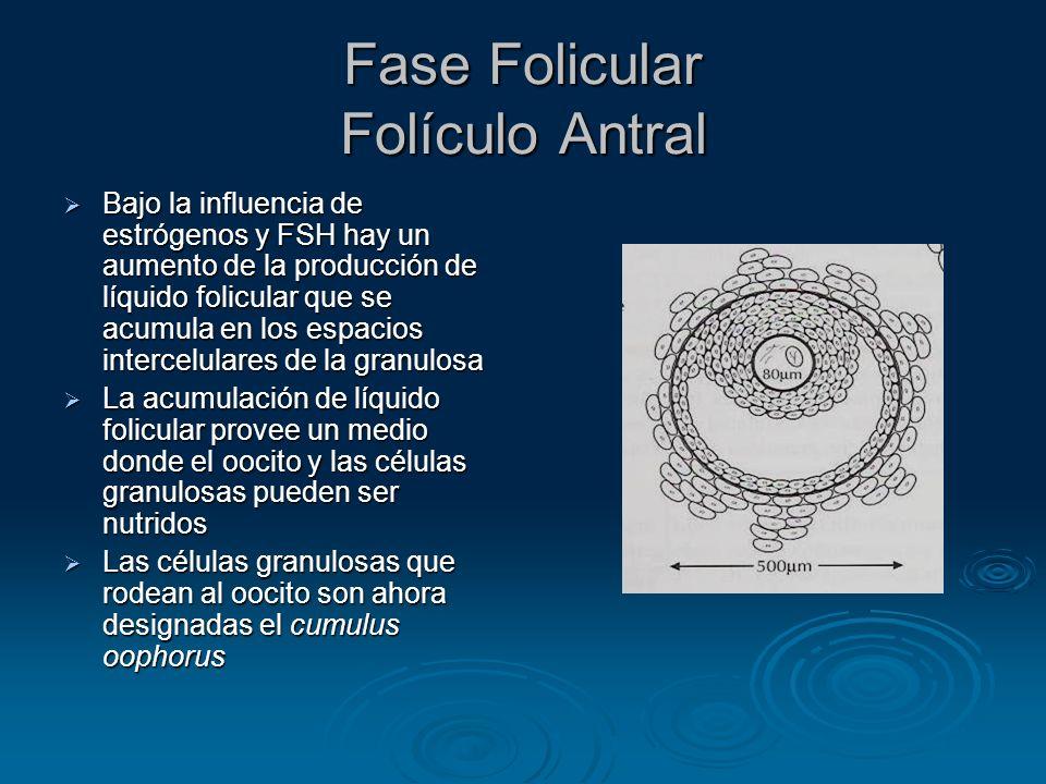 Fase Folicular Folículo Antral
