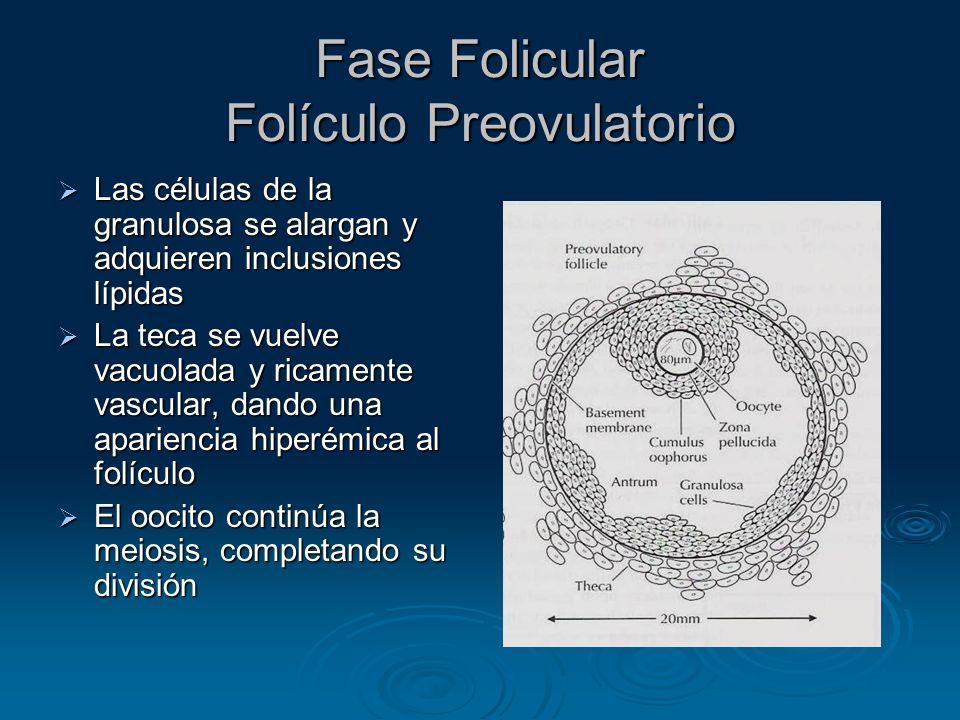 Fase Folicular Folículo Preovulatorio