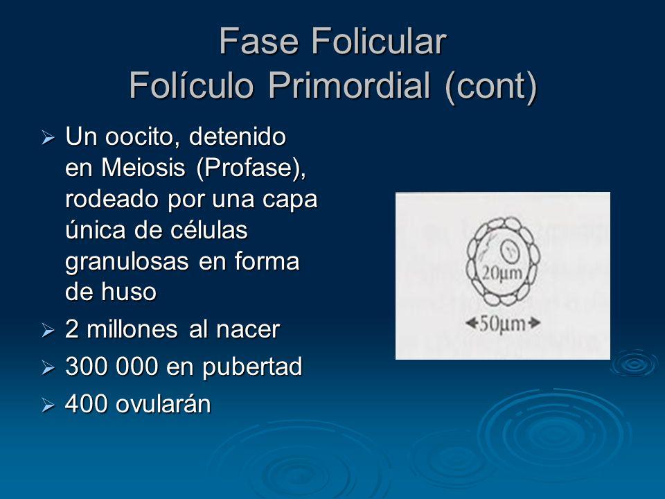 Fase Folicular Folículo Primordial (cont)