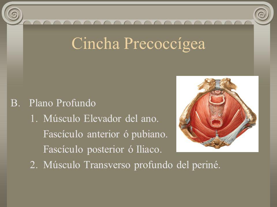 Cincha Precoccígea B. Plano Profundo 1. Músculo Elevador del ano.
