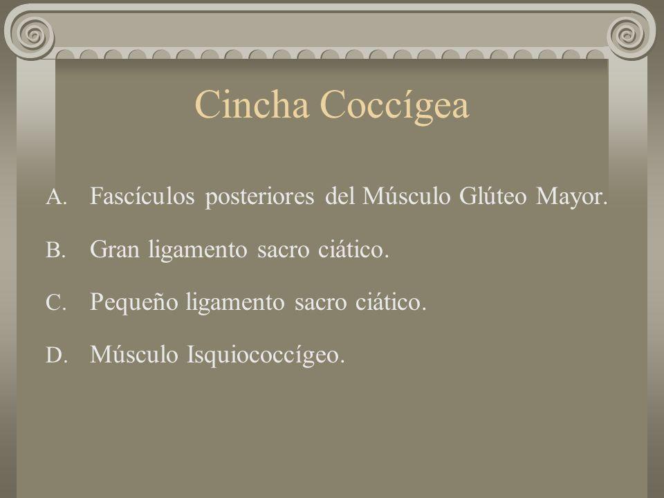 Cincha Coccígea Fascículos posteriores del Músculo Glúteo Mayor.