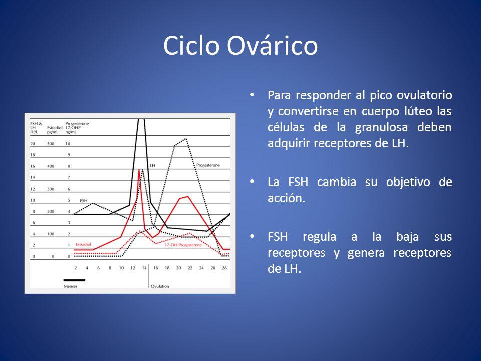 Ciclo OváricoPara responder al pico ovulatorio y convertirse en cuerpo lúteo las células de la granulosa deben adquirir receptores de LH.