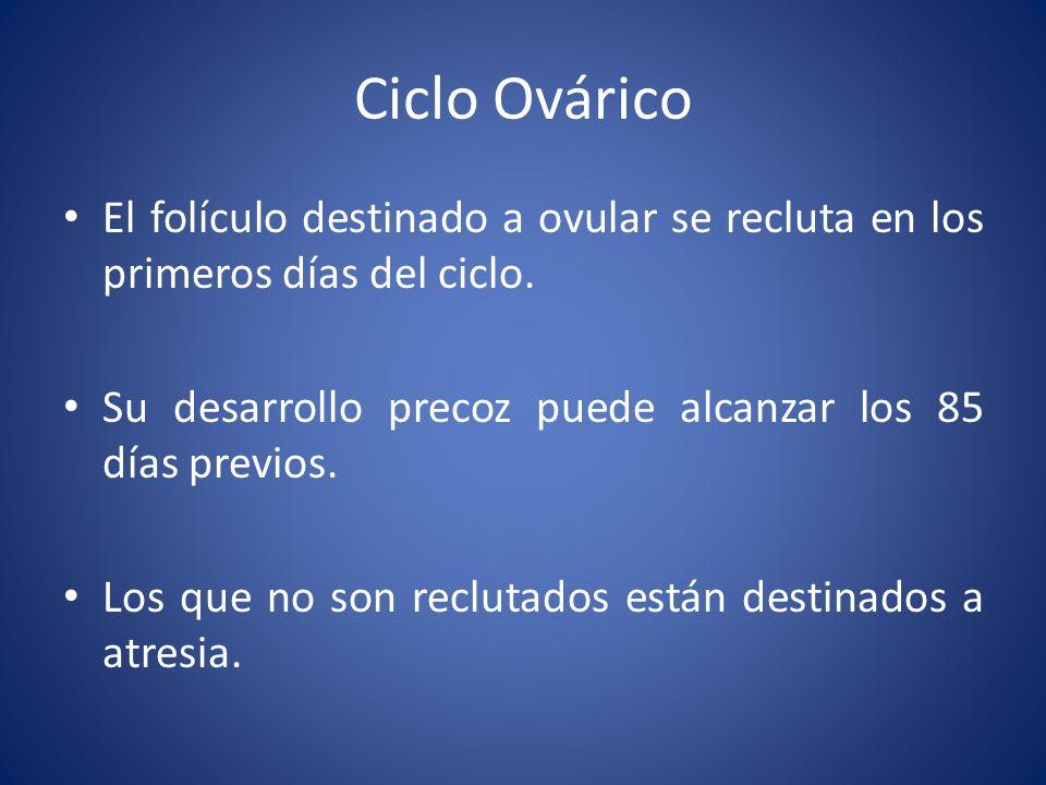 Ciclo Ovárico El folículo destinado a ovular se recluta en los primeros días del ciclo. Su desarrollo precoz puede alcanzar los 85 días previos.