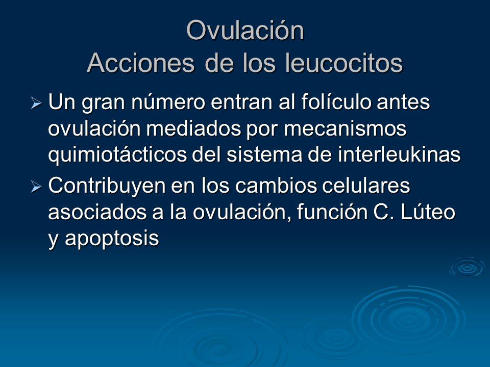Ovulación Acciones de los leucocitos