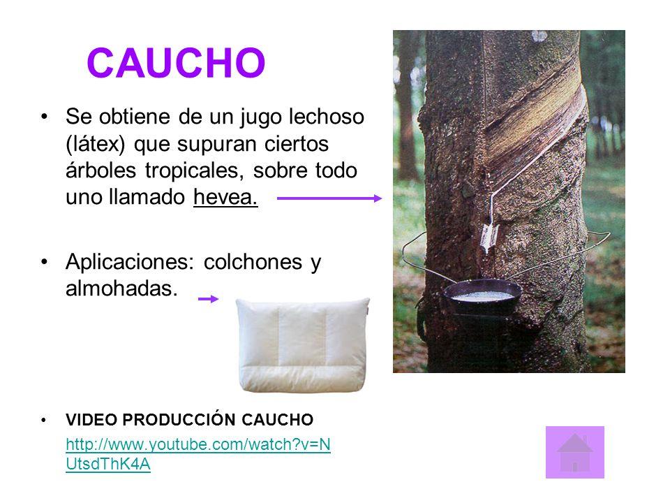 CAUCHO Se obtiene de un jugo lechoso (látex) que supuran ciertos árboles tropicales, sobre todo uno llamado hevea.
