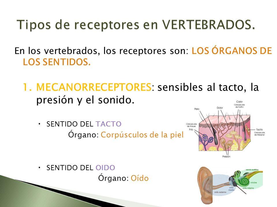 Tipos de receptores en VERTEBRADOS.