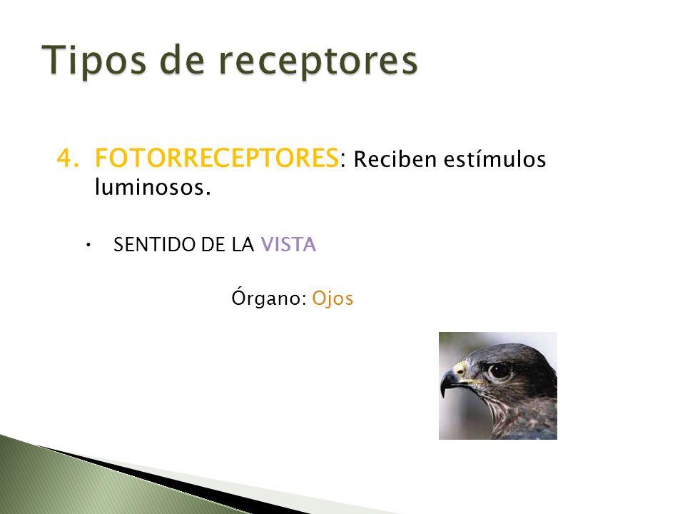 Tipos de receptores FOTORRECEPTORES: Reciben estímulos luminosos.