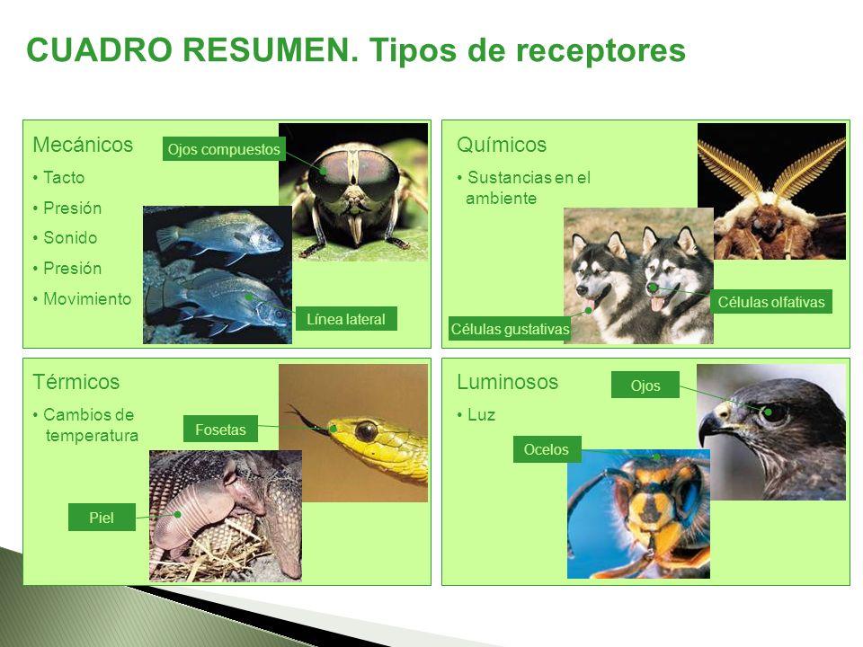 CUADRO RESUMEN. Tipos de receptores