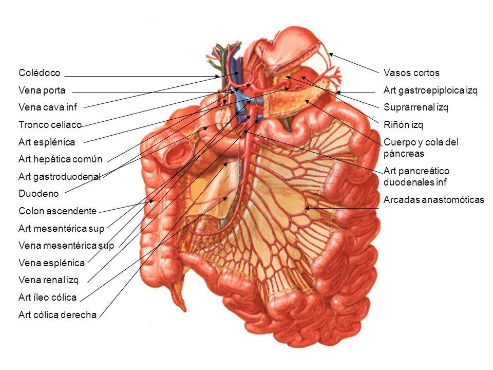 Colédoco Vena porta. Vena cava inf. Tronco celiaco. Art esplénica. Art hepática común. Art gastroduodenal.